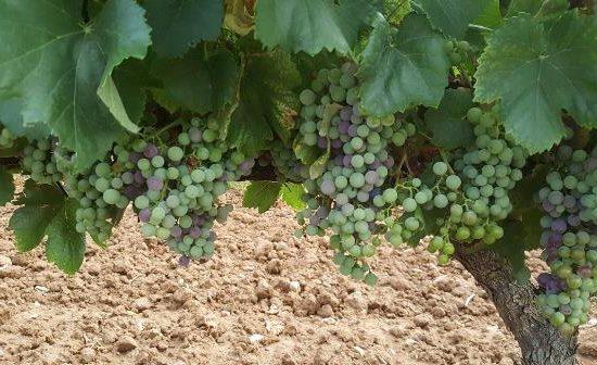 Envero uva garnacha