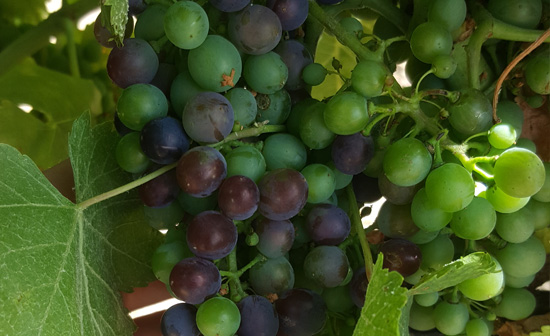 Envero uva Syrah