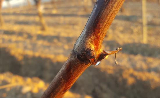 Lloro de uva tempranillo