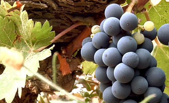 Uva viñedo Bodegas Ejeanas